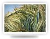 Winter triticale varieties